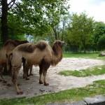Disgusting Camel