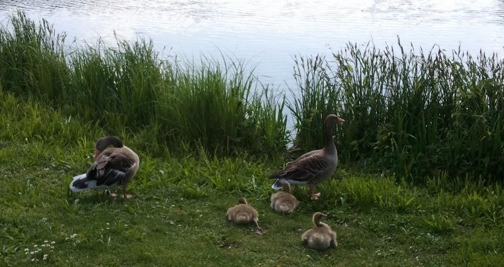 Park Duck-bird Creatures